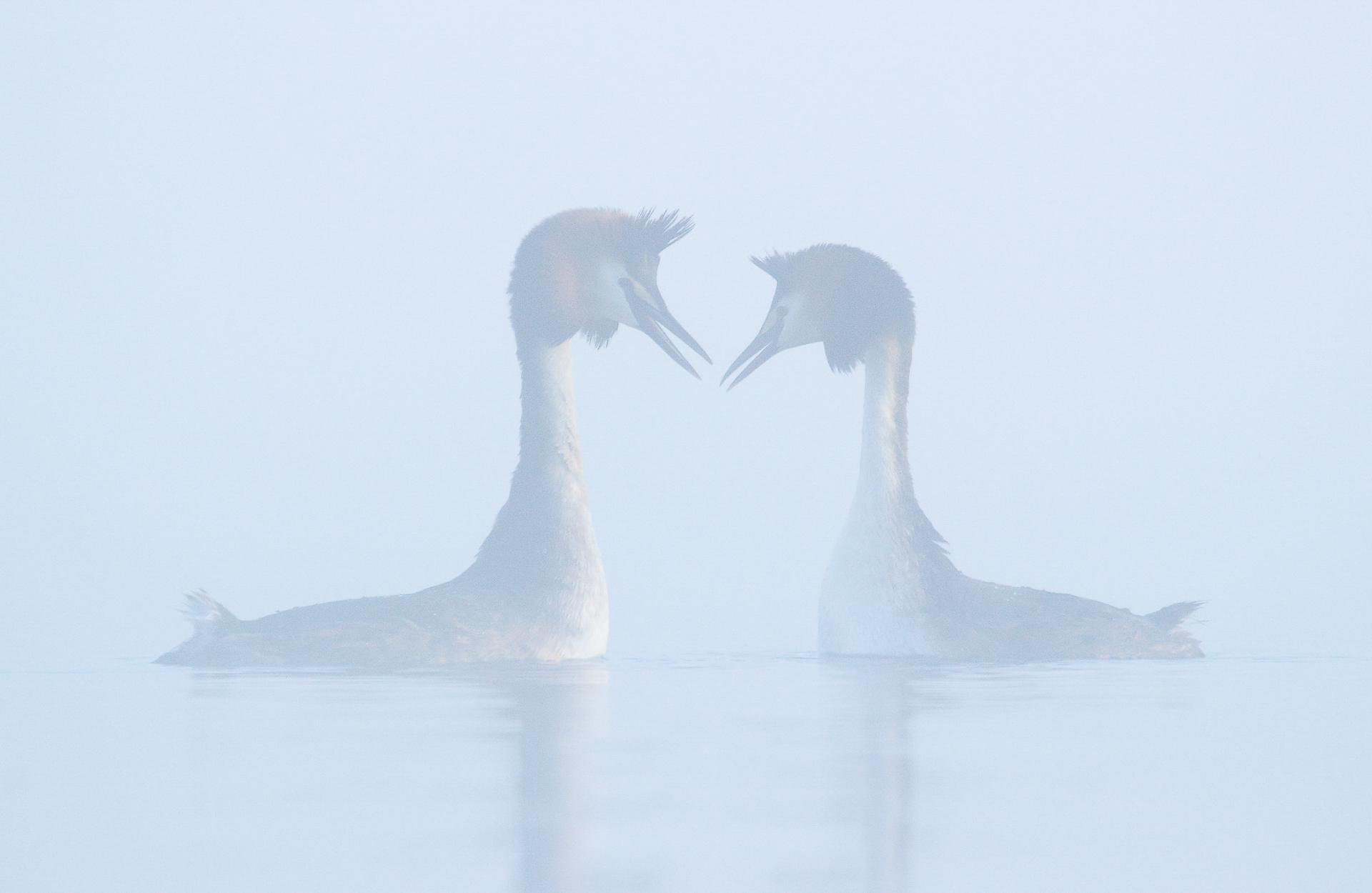 Grebes in love